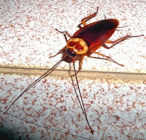 Cockroach Health Hazards Dangers