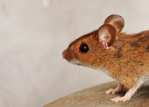 rats and lasser fever, how to kill rats , how to prevent lassa fever, Borno and lassa fever , rat fliuds