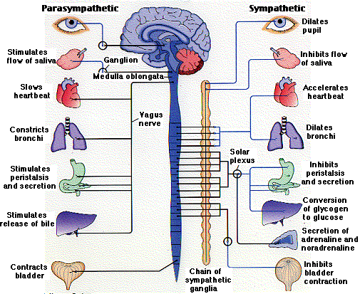 autonomic nervous system function