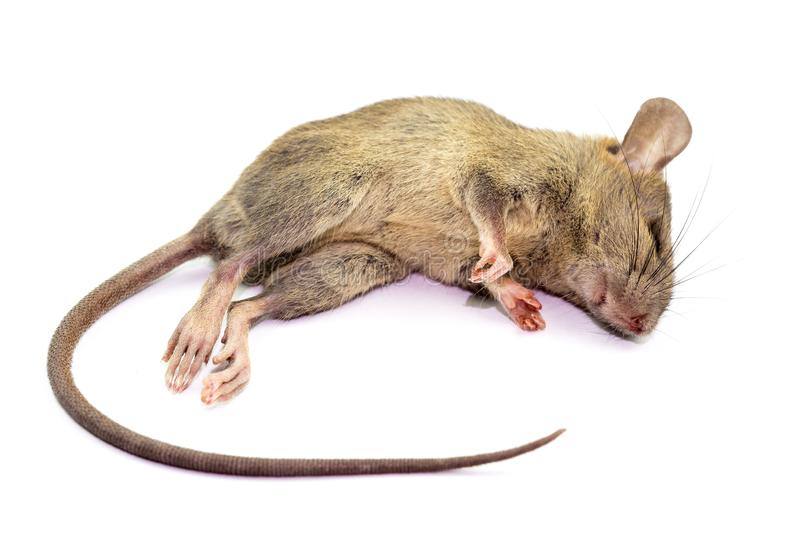 Fastest Ways To Kill Rats In Nigeria