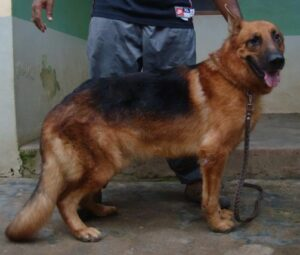 German Shepherd in Nigeria
