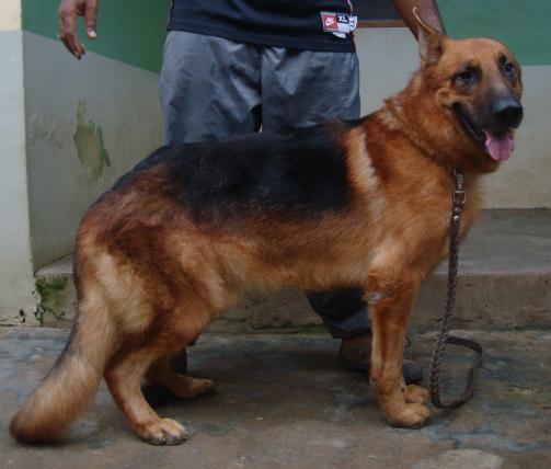 German Shepherd in Nigeria