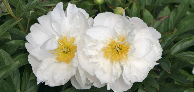 White Peony Breast Growth