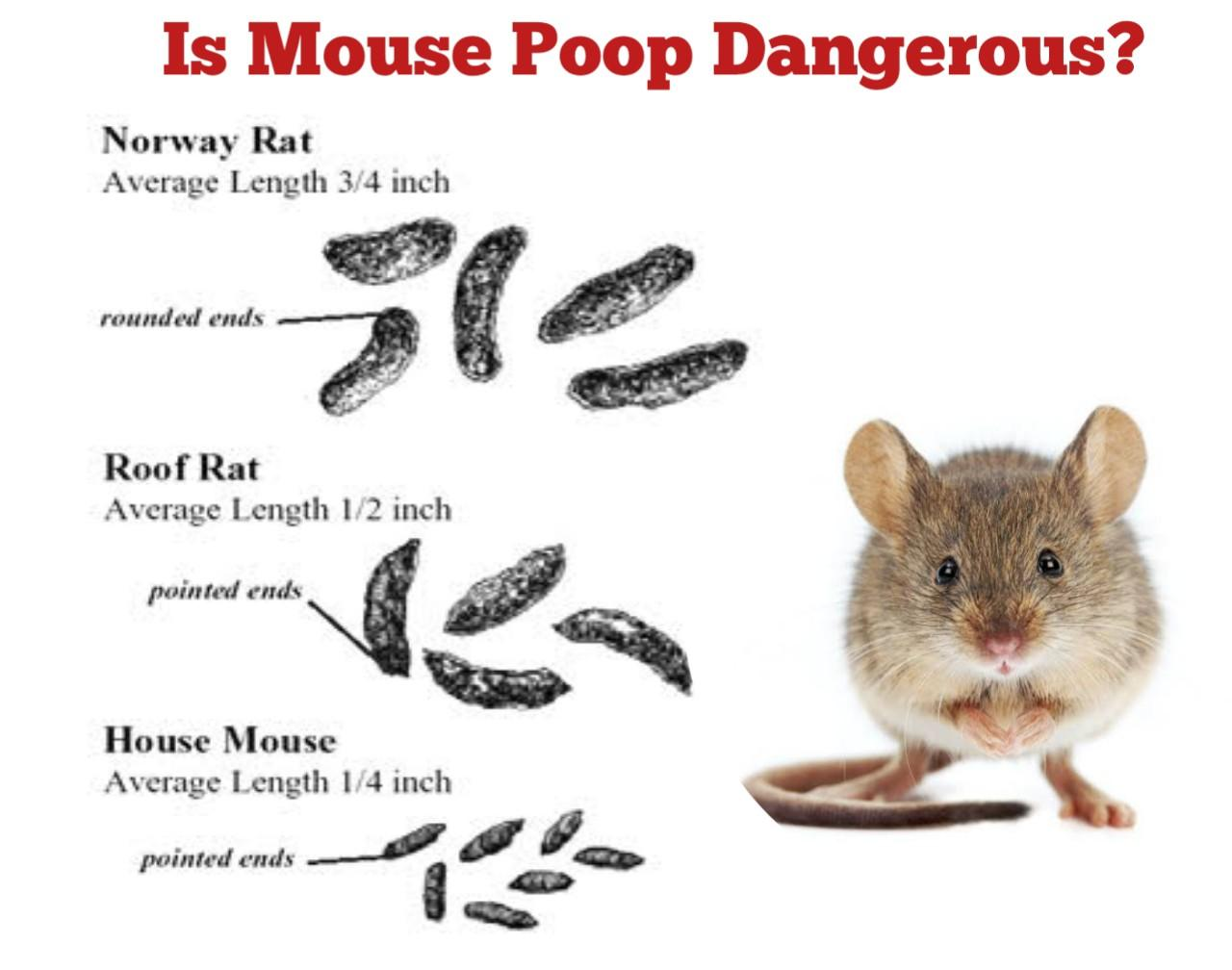 Is Mouse Poop Dangerous