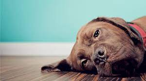 How to Euthanize A Dog With Benadryl