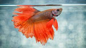 Humanely Euthanize A Fish