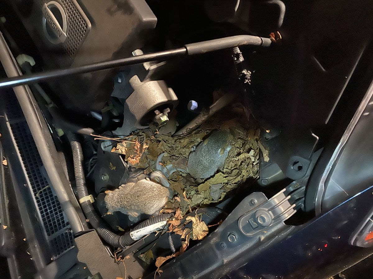 mouse nest in car