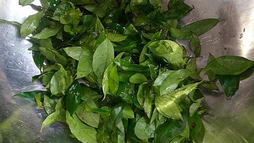 Afang okazi leaf